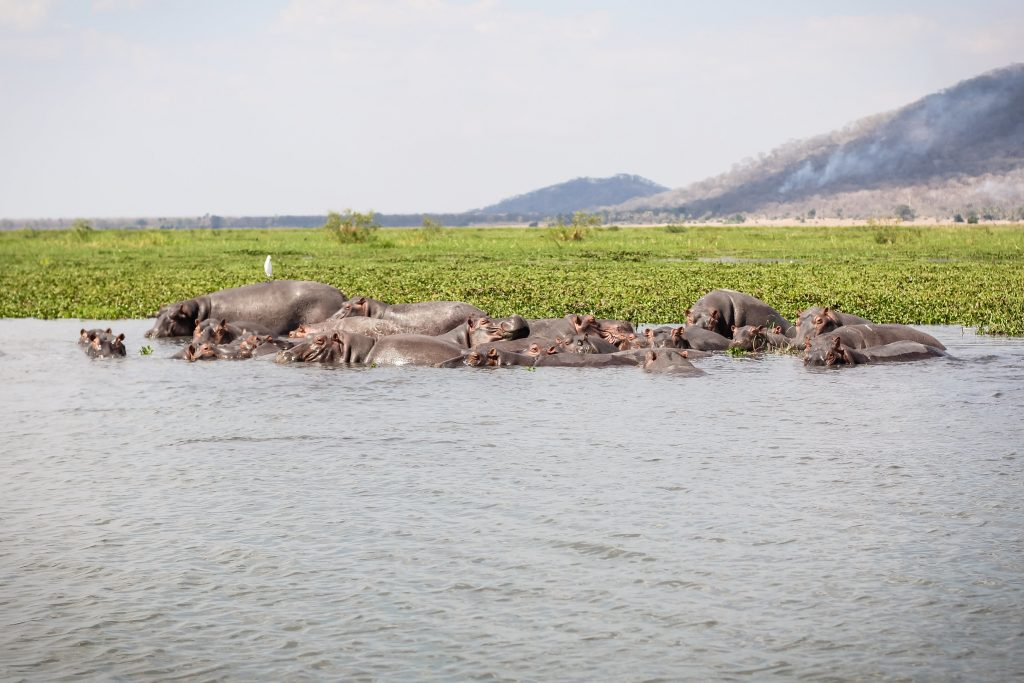 on boat safari at Liwonde National Park in Malawi a pod of hippos hippopotamus swim near the bank of the shire river