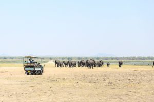on safari at Liwonde National Park in Malawi an open jeep of tourists in a bare savannah watch a herd of elephants walk toward the shire river