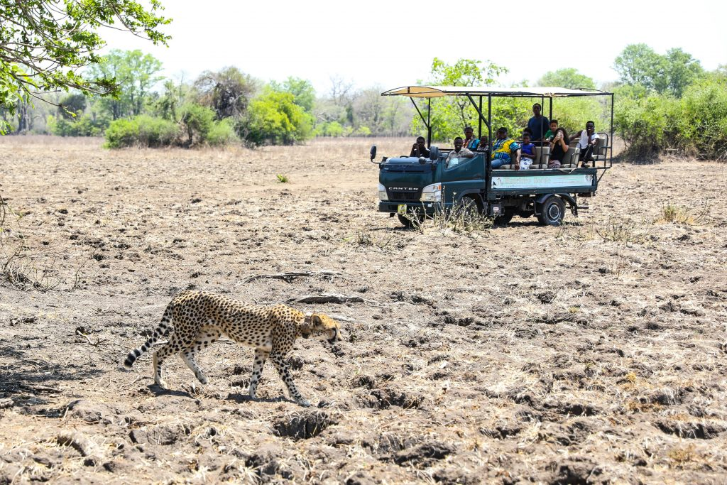 on safari at Liwonde National Park in Malawi an open jeep of tourists in a bare savannah watch a mother cheetah walk across the dry ground