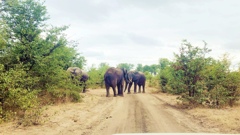 on safari at Liwonde National Park in Malawi a group of elephants stand in the road near some small trees