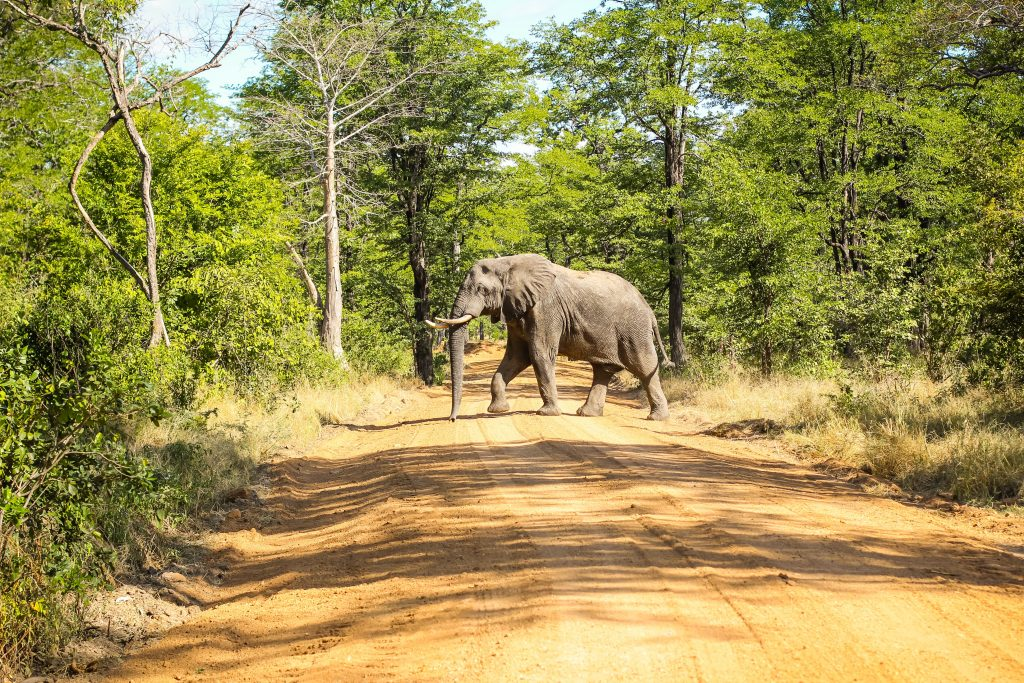 on safari at Liwonde National Park in Malawi a large elephant crosses the dirt road surrounded by tall trees