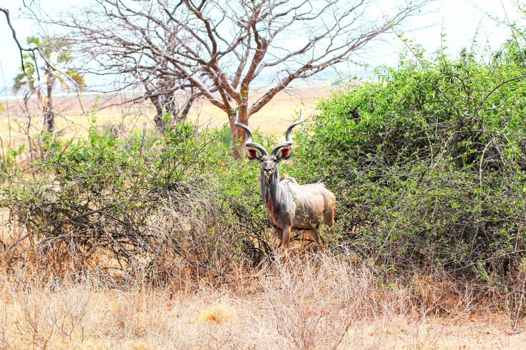 on safari at Liwonde National Park in Malawi a male kudu stands in a thicket looking around