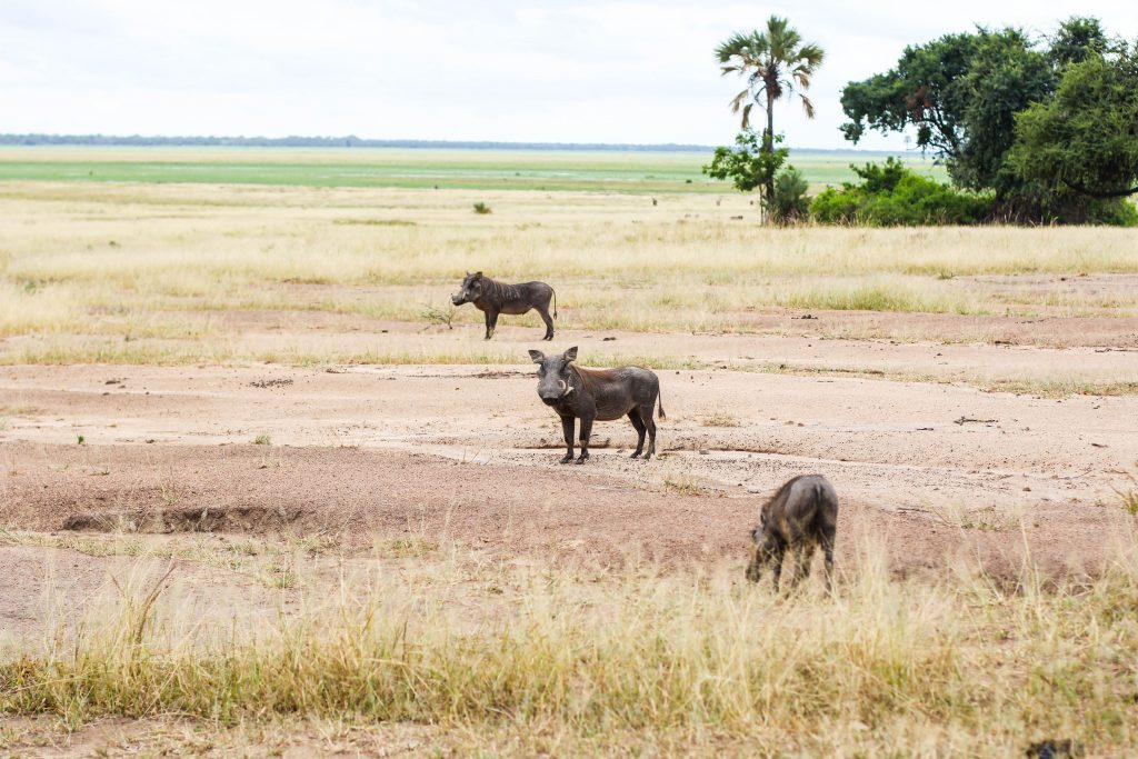 on safari at Liwonde National Park in Malawi three warthogs graze in the dry savannah near the shire river